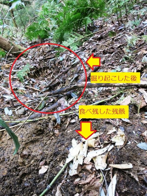 160415_タケノコイノシシ被害 (2)